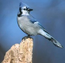 The bluejay, one of many.