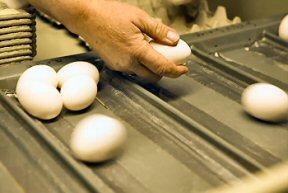 Handling eggs.